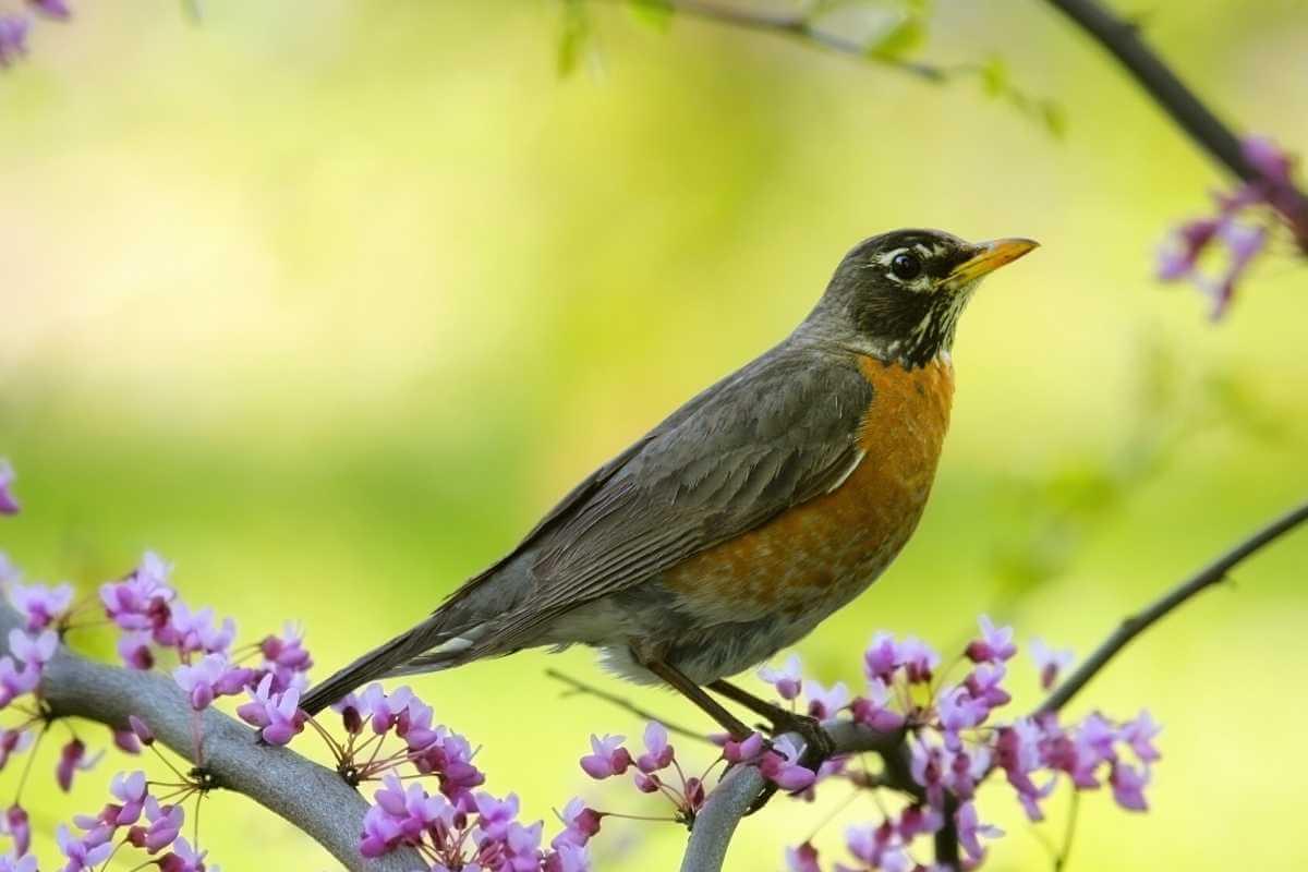 robin nature study